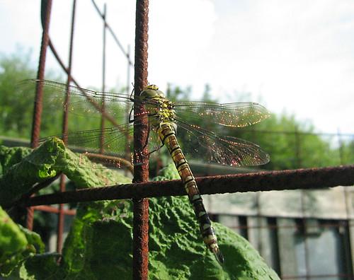 dragonfly / southern hawker / Blaugrüne Mosaikjungfer / Aeshna cyanea