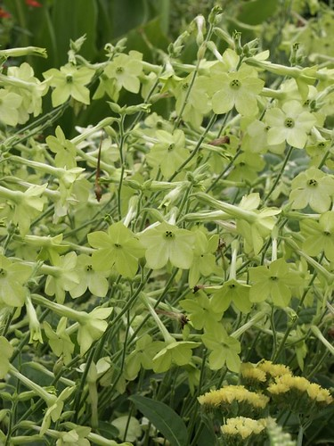 Nicotiana x sanderae Perfume Lime
