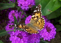 The Painted Lady (abbietabbie) Tags: butterfly explore paintedlady verbena supershot bexhillonseaseafront
