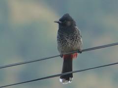 pycnonotus cafer (ze_da_binha) Tags: birds aves binha bulbul punakha pycnonotuscafer cafer pycnonotus zedabinha bulbulderabovermelho redventedbubul