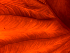 elephant ear 5 (danmachold) Tags: red plant elephant leaf flora filter ear plantlife elephantear redfilter filtered diyfilter filteredlens
