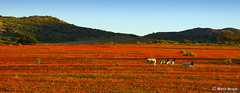 Namaqualand Landscape (Martin_Heigan) Tags: camera flowers orange flower nature daisies digital landscape southafrica nikon close desert sheep martin d70 wide photograph wildflowers dslr springbok skilpad blooming namaqualand northerncape suidafrika namakwaland 18200mmf3556gvr kamieskroon namaqua blomme nikonstunninggallery heigan goegap wowiekazowie flowerwatcher naturewatcher fiveflickrfavs 7august2007 mhsetnamaqualand mhsetlandscapes mhsetuntouched mhsetflowers