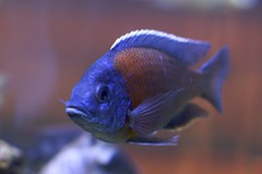 fish texas houston cichlid houstonaquarium thingsthatswim wehaveacoolaquariuminhouston