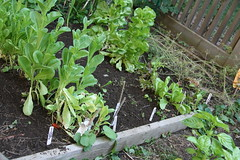 lettuce plot