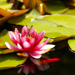 pink water lily....... (atsjebosma) Tags: pink summer flower macro reflection june rose pond waterlily goldfish thenetherlands zomer bud groningen damselfly thuesday waterjuffer 2010 bloem goudvis knop waterlelie naturesfinest anawesomeshot hppt atsjebosma firstflowerthisyear