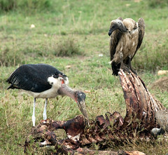 Step up to the table and dig right in! (Ron Hay) Tags: tanzania ribs vulture serengeti carcass scavenger leptoptiloscrumeniferus maraboustork whitebackedvulture gypsafricanus