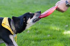 Tug-of-war (beyondramen) Tags: dog oliver frisbee grrr handsomeboy dogsitting atthepark