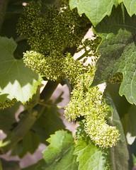 New flowers (Ryan Opaz) Tags: travel leaves vineyard spain vines yecla castano catavino opaz ryanopaz