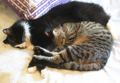 Snugglers :) (veganmichele) Tags: animals cat kitten tabby tuxedo striped rescued efa veganmichele