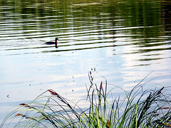 Campbell Lake Duck