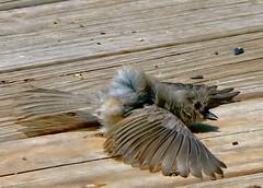 He's not dead. He's faking. (Lollie Dot Com) Tags: bird smallbird lolliedotcompix hesnotdead nohesnotdead lmaoanimalphotoaward hejustthrewhimselfonthedecklikethatthenflewaway p1280469ccrop hesfaking bigidiot