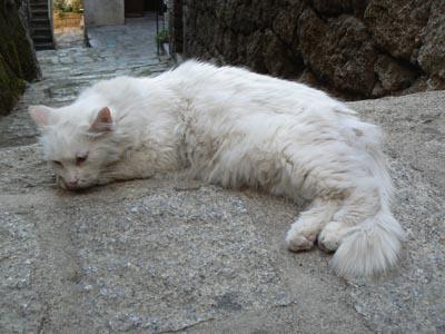 chat blanc à Srtène.jpg