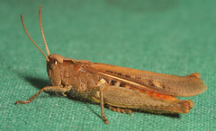 """Grasshopper(9) • <a style=""""font-size:0.8em;"""" href=""""http://www.flickr.com/photos/57024565@N00/1103541641/"""" target=""""_blank"""">View on Flickr</a>"""
