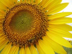 sosta forzata dal dolce piacere (quandocammini) Tags: macro yellow giallo ape a3 girasole spagna a40 n400 e901 madridcuenca
