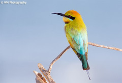 Rainbow Bee Eater (Merops ornatus) (Lenscaper) Tags: rainbow perfect photographer bee eater the merops rainbowbeeeater meropsornatus diamondclassphotographer