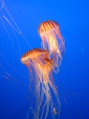 Jellies (kimbar/very busy, in and out) Tags: canada beautiful vancouver aquarium jellies jellyfish britishcolumbia nettles 294 i500 anawesomeshot naturewatcher