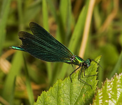 """Male Beautiful Demoiselle Damselfly ((3) • <a style=""""font-size:0.8em;"""" href=""""http://www.flickr.com/photos/57024565@N00/1339904281/"""" target=""""_blank"""">View on Flickr</a>"""