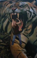 Please don't eat me (daylapt) Tags: wild minnesota scary funny tiger help 365 frightening helpme wowiekazowie