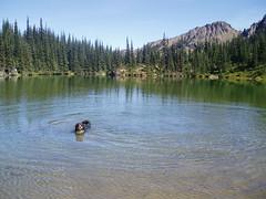 betsy enjoying a swim in silver lake.