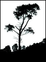 Still standing (Kirsten M Lentoft) Tags: tree experiment duotone onwhite helluva blueribbonwinner supershot naturesgallery artlibre momse2600 treesubject thegoldenmermaid kirstenmlentoft