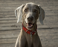Do Weimaraners smile? (Piotr Organa) Tags: portrait dog pet toronto canada cute beach smile face smiling animal adorable weimaraner outstandingshots anawesomeshot impressedbeauty aplusphoto pet500 pet100 pet1000 pet3000