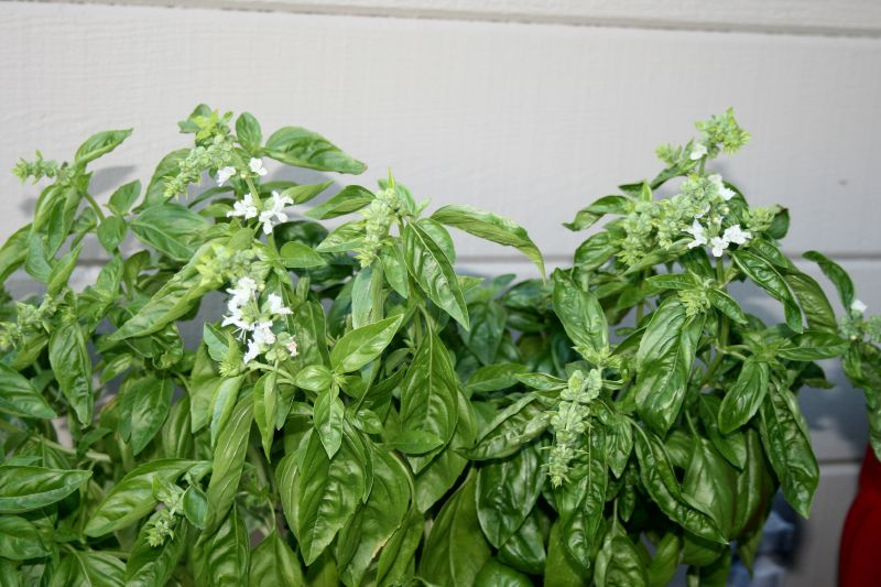 Blooming basil