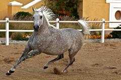 Powerful - I Am (Mohammadtaqi.com) Tags: horse canon eos photographer mark free mohammed ii 5d kuwait arabian mkii q8 70200mm f28l mtphoto ashkanani wwwmtphotonet