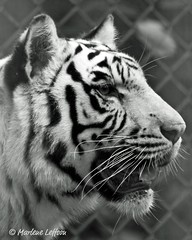 White Tiger B&W 8x10 (Leffson Photography) Tags: nature zoo blackwhite exoticcats bigcats endangeredspecies allrightsreserved canonxti catoctinwildlifepreserve endangeredcats naturescreations flickrbigcats whietiger catoctinwildlifepreservethurmontmd marleneleffson leffsonphotography marleneleffson allrightsreservedmarleneleffson causeanuproar
