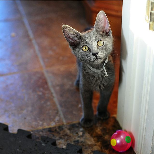 cute rescued grey kitten no paw left behind