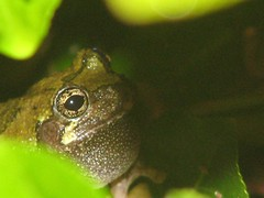 Tree frog close up