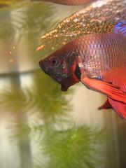 Big Bad Bowser (mandynickel) Tags: fish aquarium bowser guard flare betta fins bubblenest hornwort veiltail