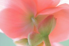 Pink Begonia (Peggy Collins) Tags: pink flower color macro nature closeup garden petals explore begonia naturesfinest interestingness266 i500 pinkalicious anawesomeshot colorphotoaward impressedbeauty