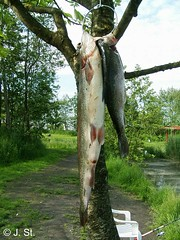 DK 2007 ( 2 ) / Forellenbaum / Trout tree (Yogi 58) Tags: fish tree denmark fishing trout dnemark trouttree baum forelle forellen angeln troutfishing yogi58 forellenangeln jrgsteiof steiof regenbogenforellen forellenbaum nichtinkenia