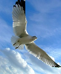 Seagull in close (RRG .CA) Tags: blue light sky bird animal clouds spread flying wings day seagull gull flight feathers soar