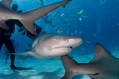 Lemon Shark swimming among divers... and other lemon sharks (WIlly Volk) Tags: shark dive scuba diving sharks lemonshark bahamasscuba