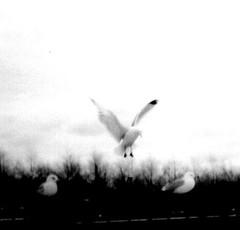 Gulls, Hoboken - by Barbara L. Hanson