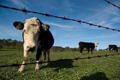 Cows (Rohan Phillips) Tags: blue sky grass clouds rural fence wire nikon cattle cows farm country d70s meadow hills pasto cielo adelaide barbed bovine vaca granja bovino instantfave naturewatcher