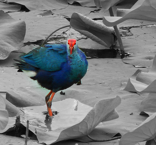 Purple moorhen