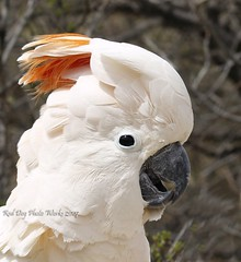 Citron Crested Cockatoo (reddogphotoworks) Tags: bird art nature birds digital photography wildlife cockatoo crested poe avian beautifulcapture reddogphotoworks