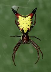 Arrow-shaped Micrathena (cotinis) Tags: spider northcarolina piedmont arthropoda arachnida araneae araneidae micrathena micrathenasagittata arrowshapedmicrathena enocalendar2010