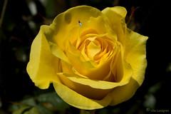 Tiny bug & bud (atranswe) Tags: macro nature rose yellow bug sweden natur sverige ros insekt gul excellence falkenberg simplythebest supershot dsc1436 nikond40 diamondclassphotographer onlythebestare 20070909 theperfectphotographer