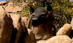 10 hyenodon saw