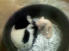 Black and White Ruffled Lemur