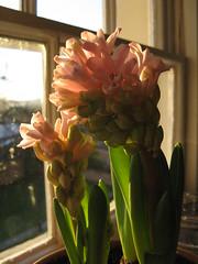 Hyacinth on my window sill (Wez Smith) Tags: pink light plant flower green window leaves dawn leaf sill stamens hyacinth hyacinthus orientalis hyacinthusorientalis