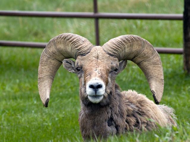 sheep wildlife rams