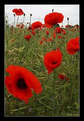 Poppies galore! (Shandchem) Tags: scotland fife seed rape il poppy poppies galore balmullo puskfarmil puskfarm
