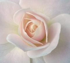 Introspection (Amy V. Miller) Tags: pink white flower macro nature rose glow close center petal mywinners abigfave platinumphoto flickrdiamond