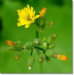 Quando as sementes são levadas pelo vento... (Marina Linhares) Tags: flores flower nature natureza flor excellentsflowers