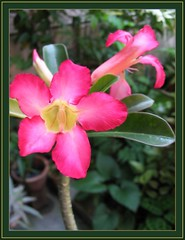 Our potted Adenium obesum (Desert Rose) in bloom, June 2007