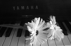 Thinking of Mom (Gail Peck) Tags: blackandwhite daisies piano gerbera coolest
